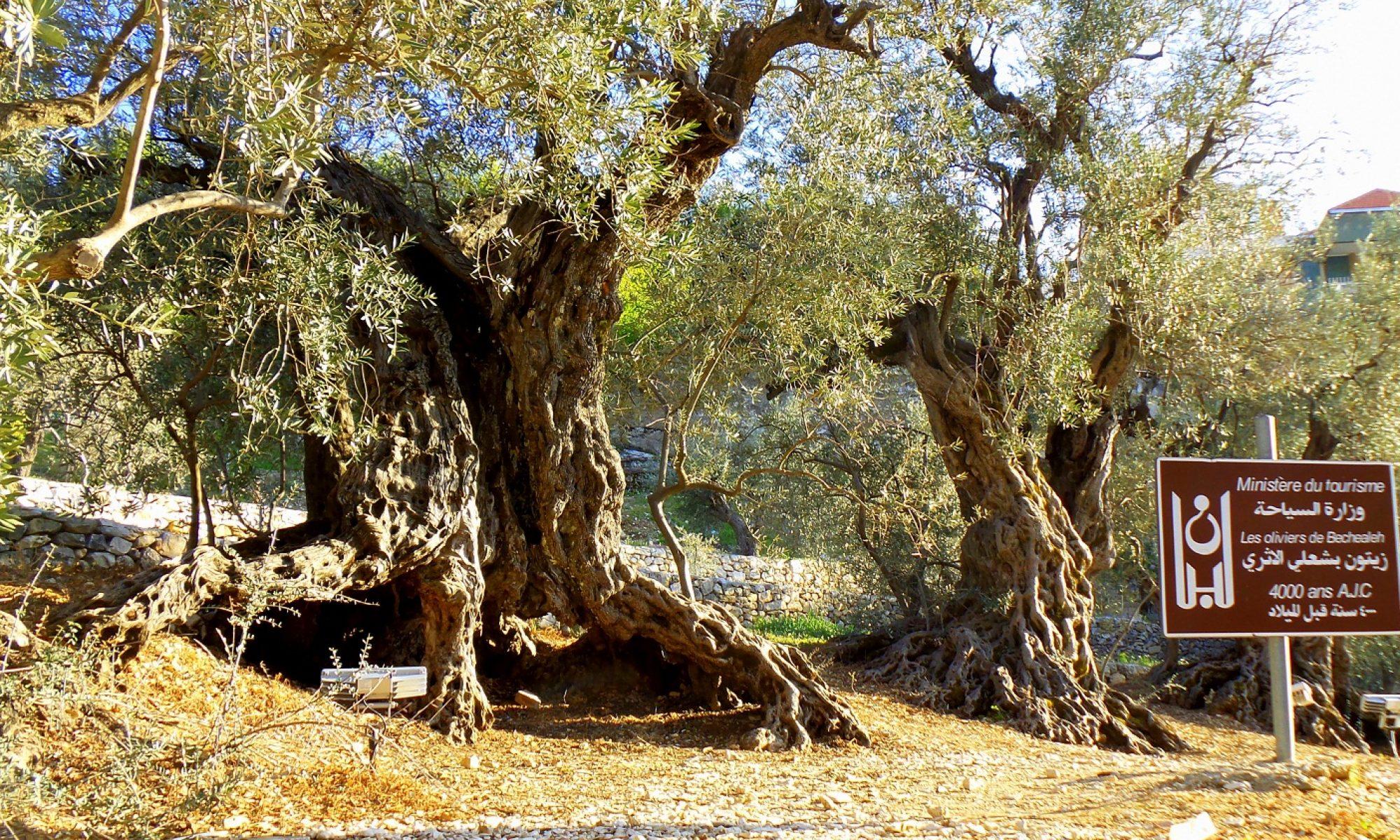L'infuso di foglie di olivo
